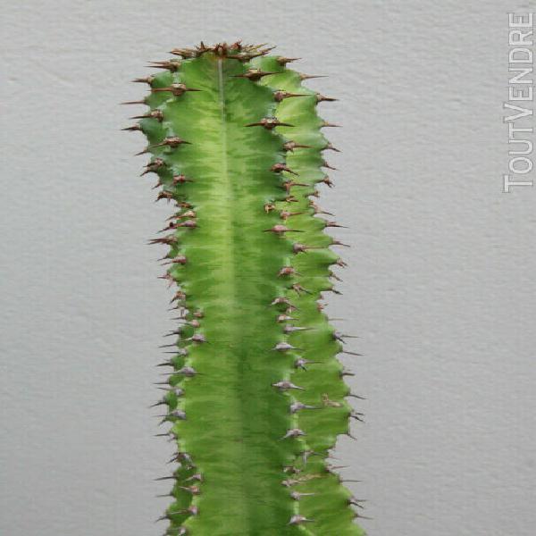 euphorbia sp. hauteur 1m, environ 10 ans, issu de semis 0