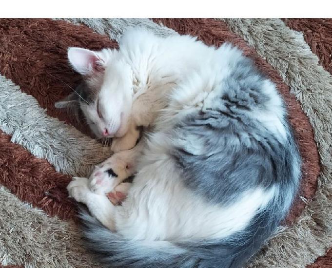 sacha beau chaton gentil recherche foyer avec chat 0