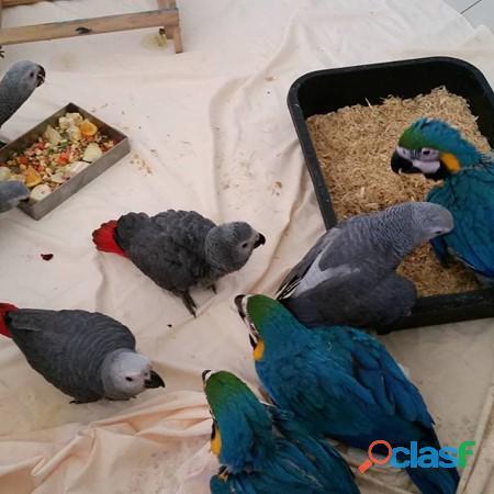 b, cacatoès, aras, gris d'Afrique et d'œufs fertiles
