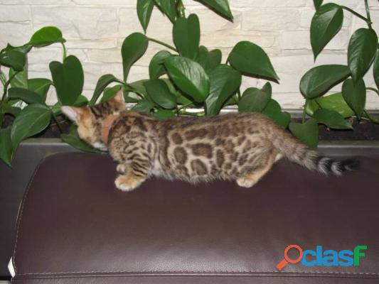 4 Chatons Bengal Pure Race Disponibles