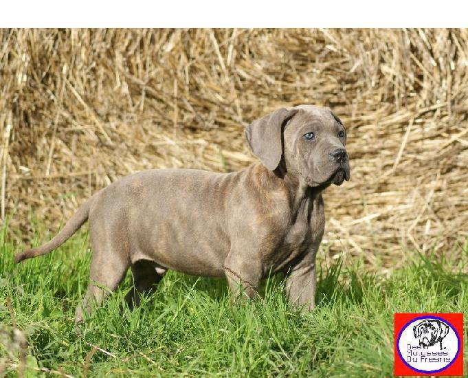 Magnifiques chiots cane corso lof dispo - tb lignée -