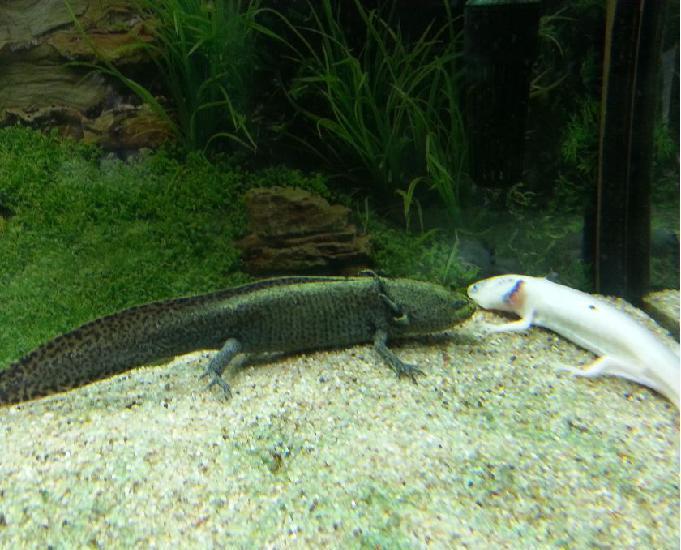 urgent, donne contre bon soins axolotl femelle