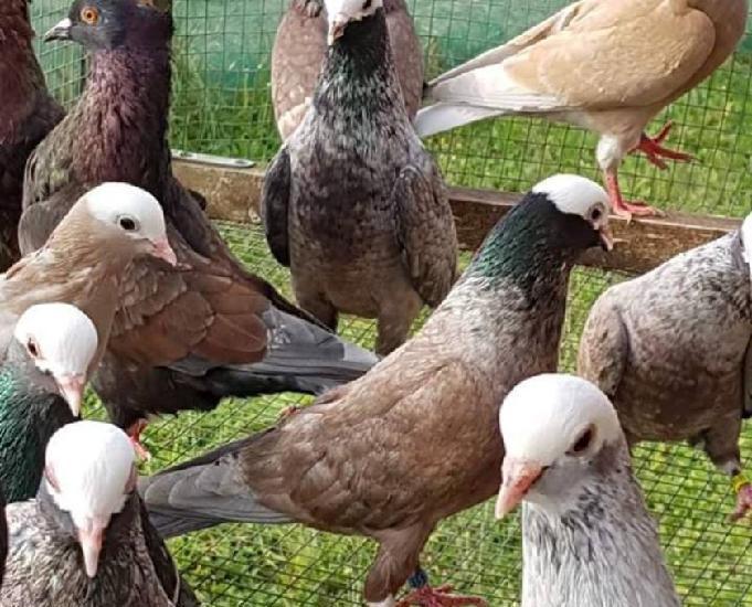 pigeons de vol catalan et de majorque