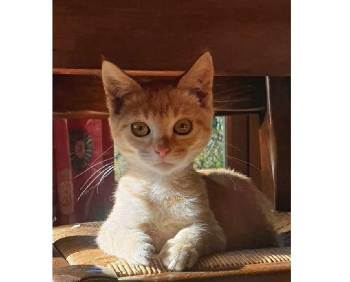Chaton mâle 3 mois et demi tigré roux ok autres animaux