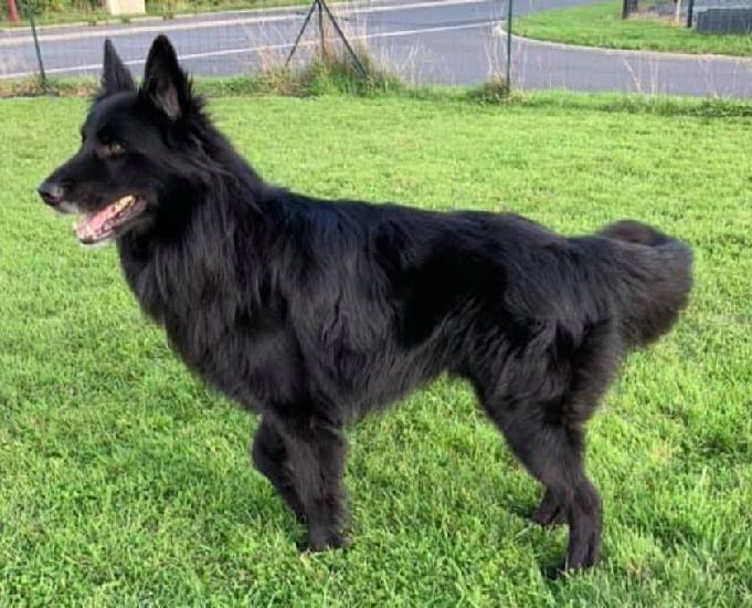 jackson, magnifique chien groenendael