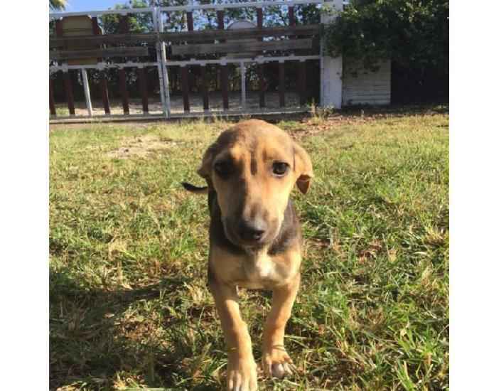 Chiot Male Loulou Animaux Janvier Clasf