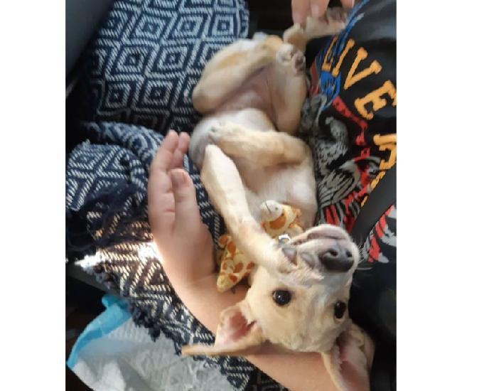 Pitaya, chiot femelle croisée non-lof