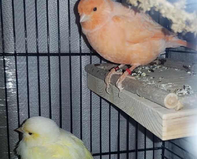 Canaris (mâle et femelle) + 1 colombe diamant + cage