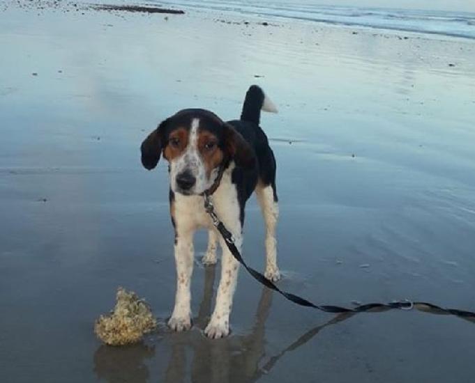 Végas, adorable petit croisé beagle, fox