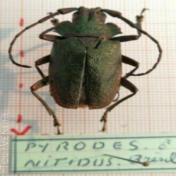 Entomologie insecte pyrodes nitidus male brésil