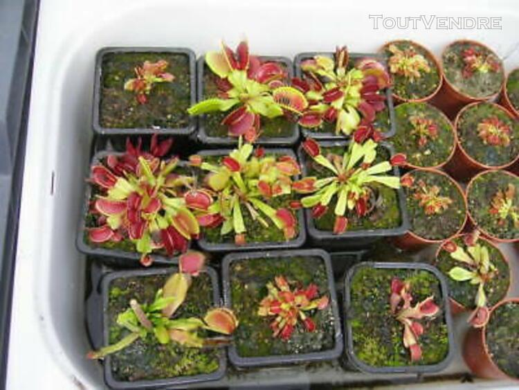 25 à 100 graines seeds Sarracenia mélangées mixed carnivore carnivorous plant