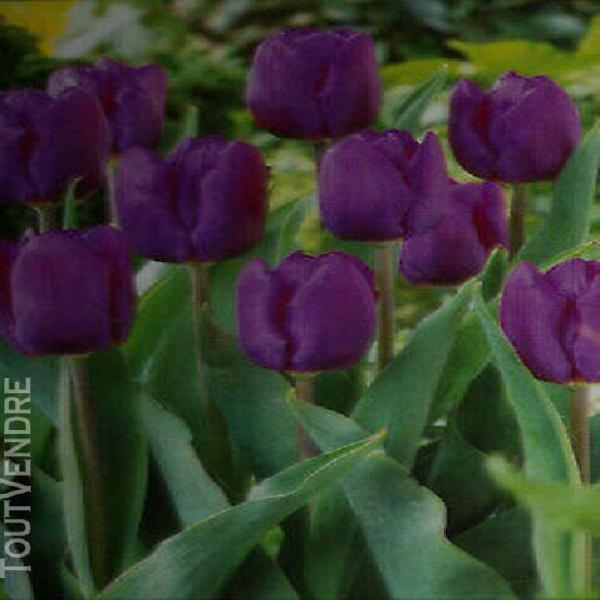 "3 bulbes bleu/violet ""tulipe paars"" (pack1)"