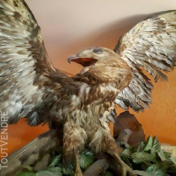 oiseau empaillé de grande envergure