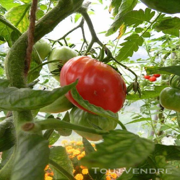 Graine tomate coeur de boeuf bio rare ancienne potager plant