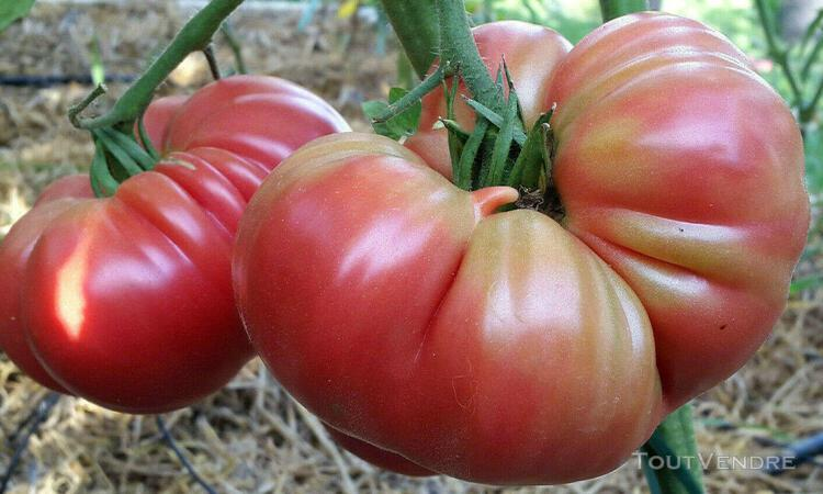 10 graines de tomate la vie en rose à l'excellente saveur