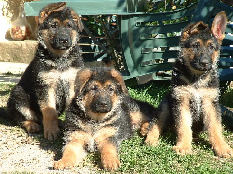 Portee Chiot Berger Allemand Animaux Janvier Clasf