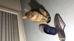 Chatte tigrée quittée l'appartement depuis 3 jours