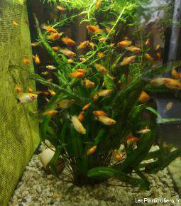 Don, poissons molly micky ou normal