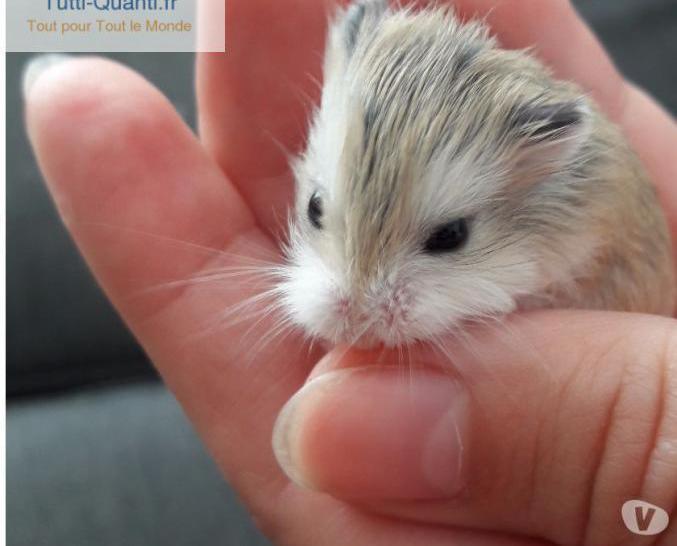 Bébés hamsters roborovski
