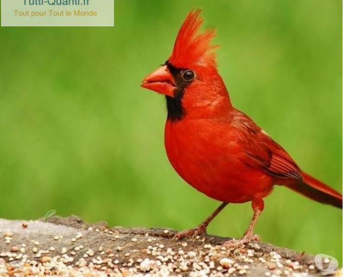 Cardinal de virginie