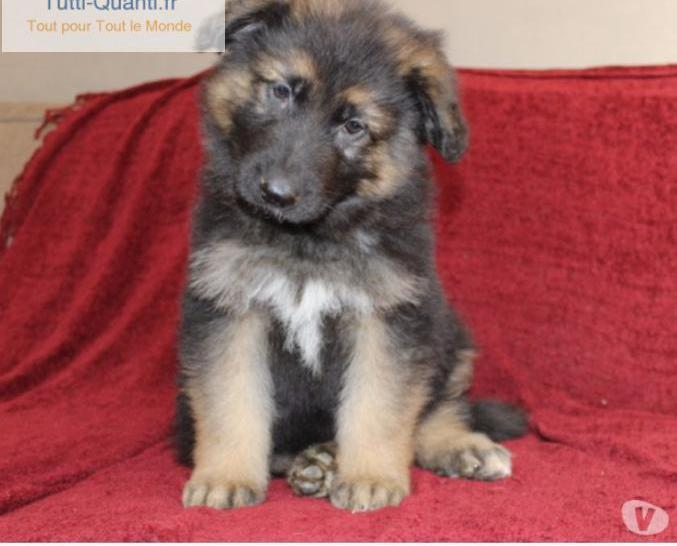 Chiots berger allemand poil long.