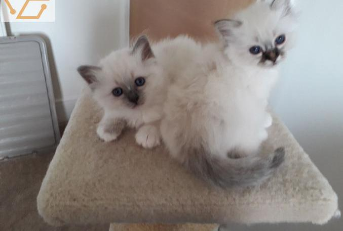 Disponible adorables et magnifiques chatons s...