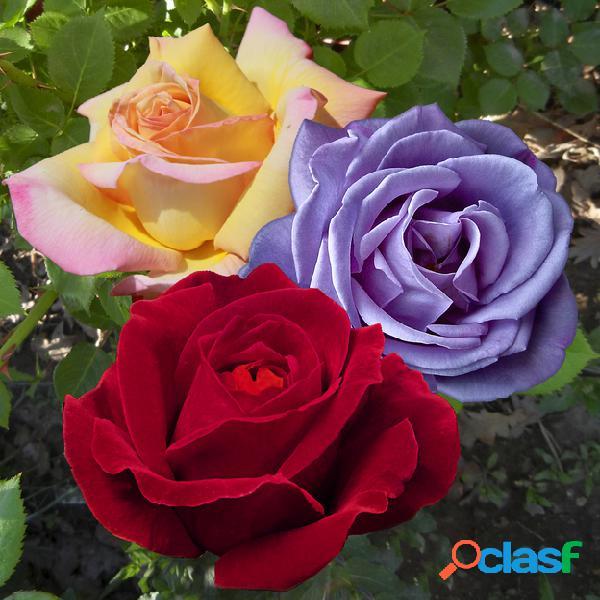 Collection rosiers ã grande fleurs et parfumã©