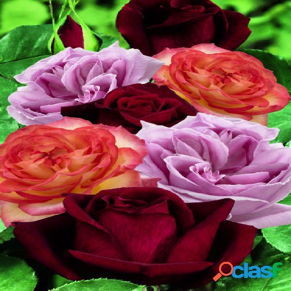 Collection de roses fortement parfumã©es - rosa