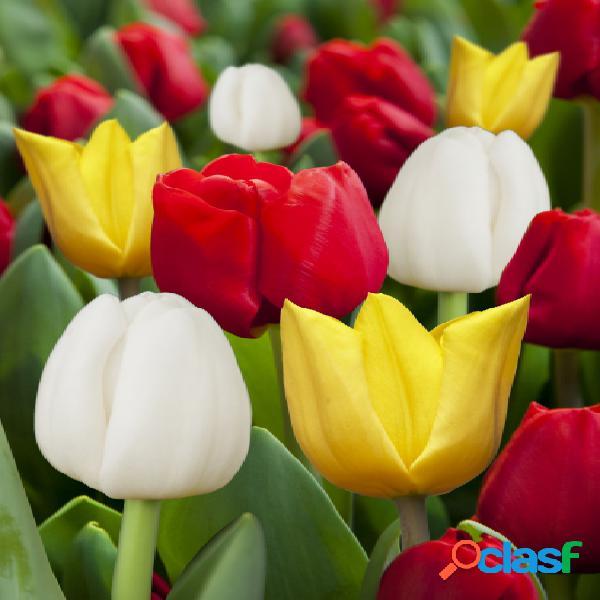 """Mã©lange de tulipes rouges, jaunes et blanches â"""" 20 piã¨ces"""