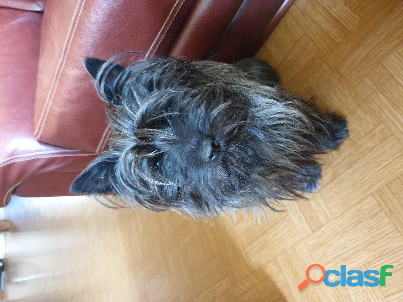 Cairn terrier mâle saillie