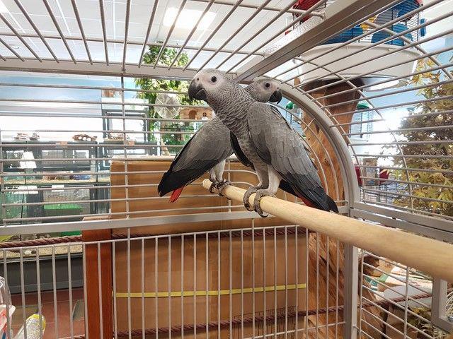 Perroquet gris du gabon occasion, nantes (44000)