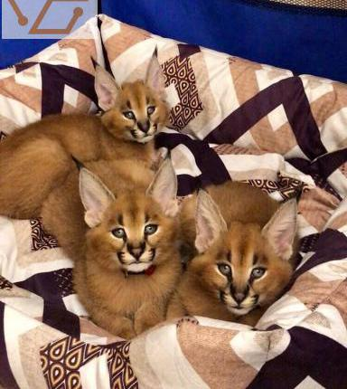 chatons caracal et serval disponibles