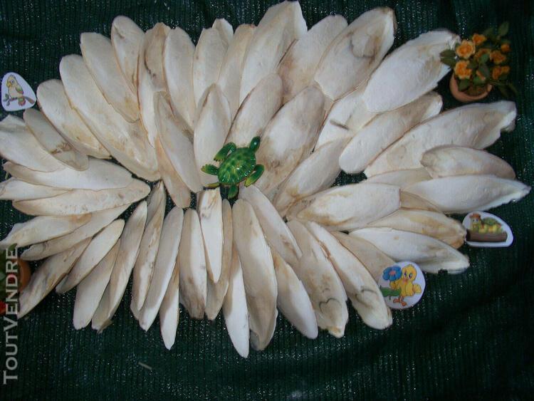 Os de seiche 7 kg 15-22 cm perruche mandarin calopsitte rept