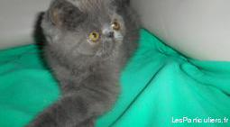 Chatons exotic shorthair