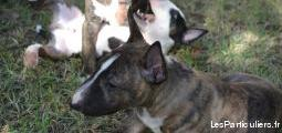 Bull Terrier Miniature Animaux Decembre Clasf