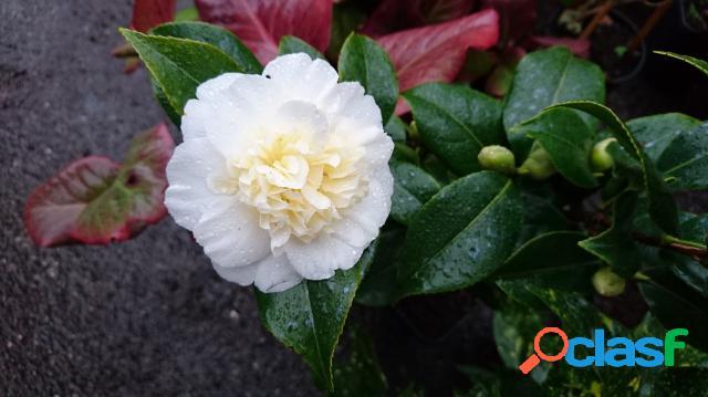 Camellia japonica brushfield's yellow - camã©lia
