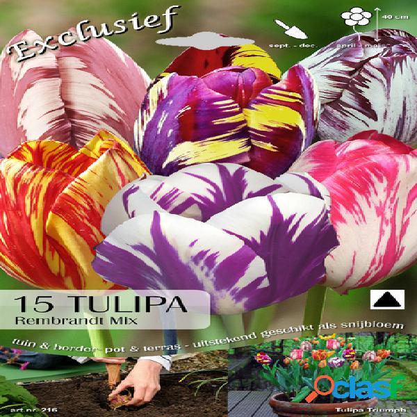 Tulipes rembrandt en mã©lange (camã©lã©on)