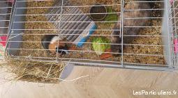 lapine et cochon d'inde femelle
