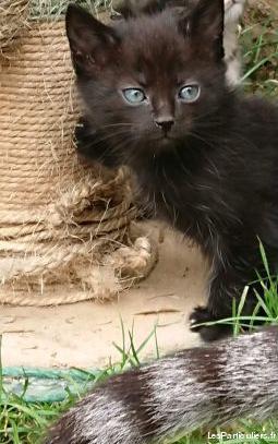 Chatonne noire