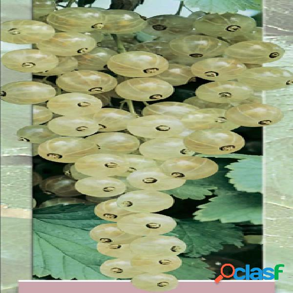 Baie blanche, groseille blanche - ribes rubrum