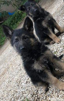 chiot berger allemand royale
