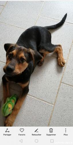 Chiot mâle labrador coupée berger allemand