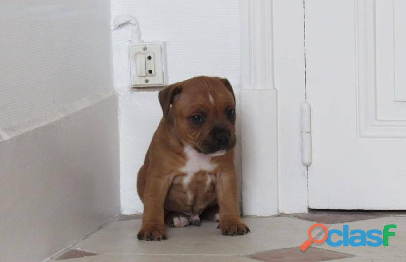 EXCELLENT CHIOT STAFFORDSHIRE BULL TERRRIER