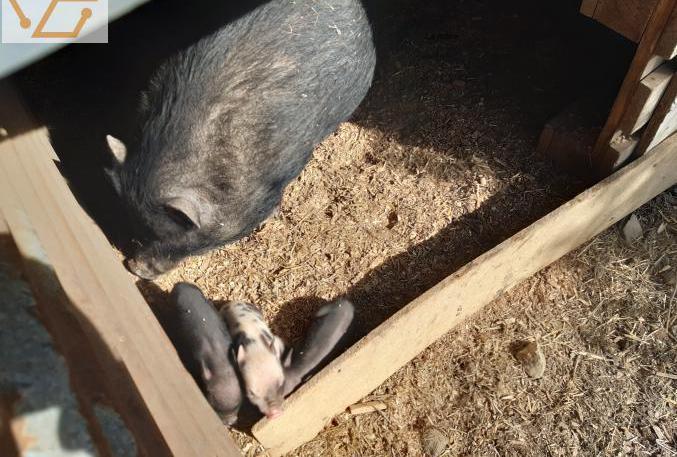 cochons nains