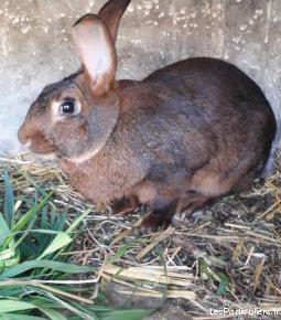 lapins reproducteurs
