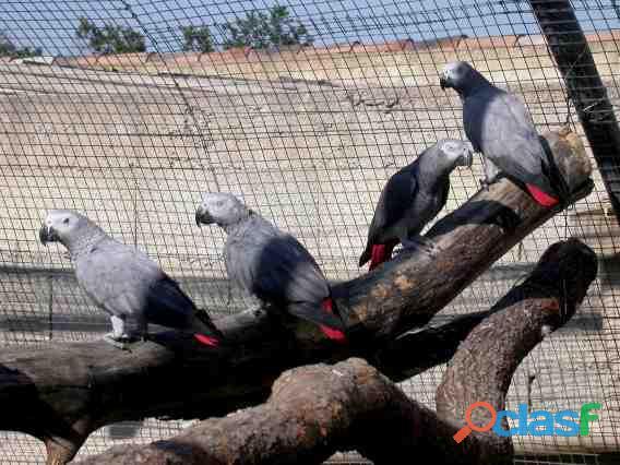 Superbes jeunes perroquets gris du gabon eam