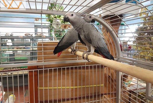 Perroquet gris du gabon occasion,