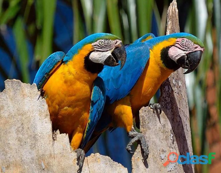 Perroquets ara ararauna