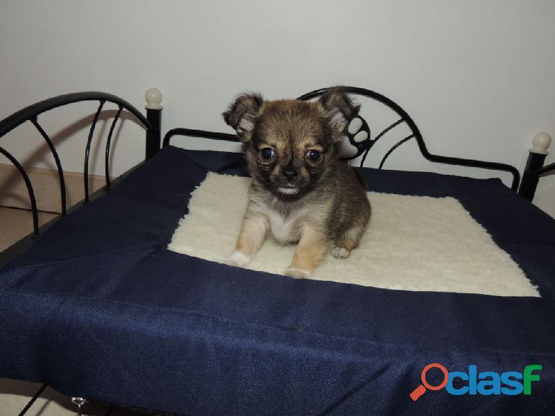 Chihuahua de 3 mois A DONNER