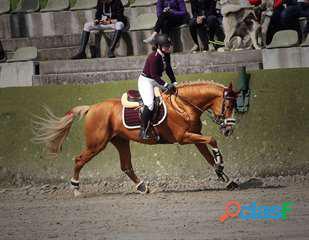 Cheval de sport allemand 11 ans, aucun souci de santé